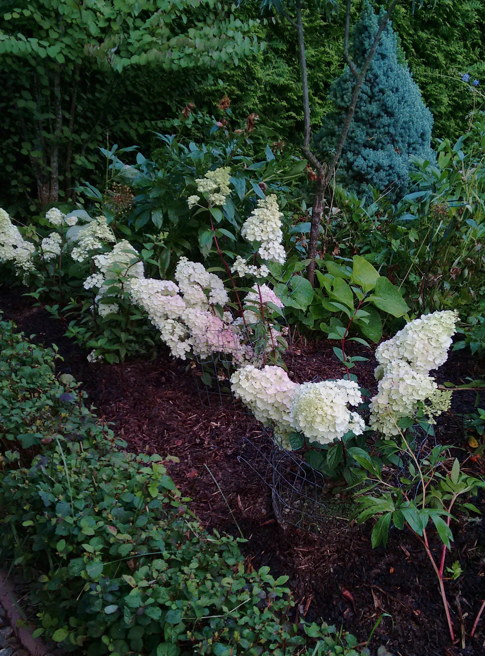 hortensiat omapiha2